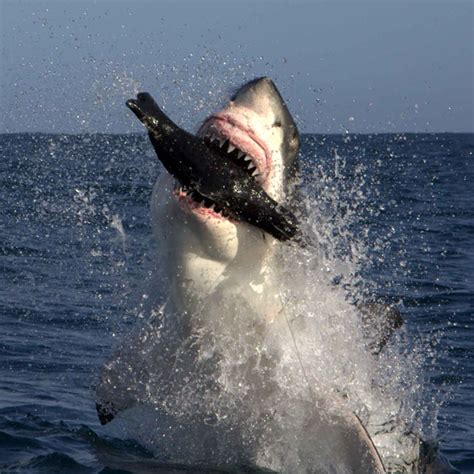 Great white sharks hunt a dummy seal off Cape Town, South