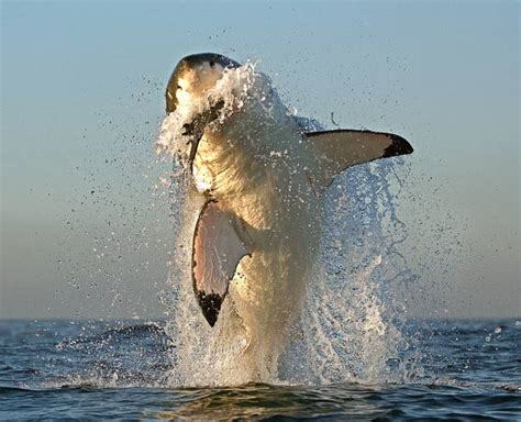 Leaping great white sharks photographed attacking seals