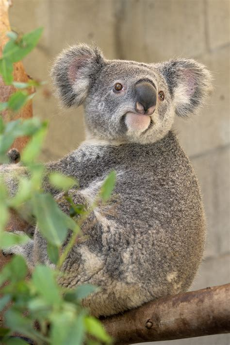 Koalas arrive at the San Antonio Zoo for the first time in