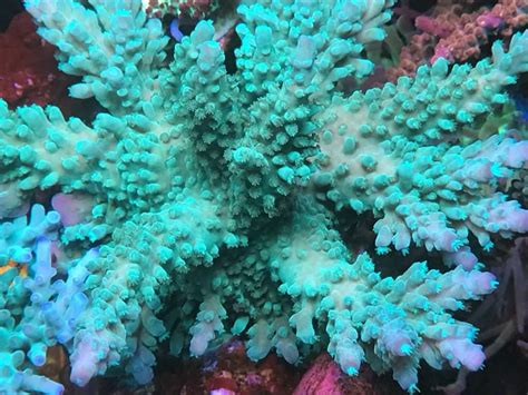 A Lot of high End Acropora For Sale - Reef Central Online